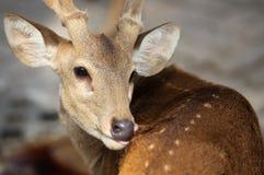 Elegant deer brown color, Thailand Royalty Free Stock Photo