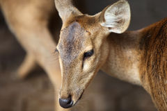 Elegant deer brown color, Thailand Stock Image