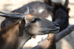 Elegant deer brown color, Thailand Royalty Free Stock Photography