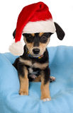 Elegant dog on blue wrap with christmas cap Royalty Free Stock Images