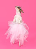 Elegant dog dancing isolated Stock Photography