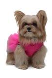 Elegant Dog Model Stock Image