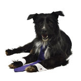 Elegant dog with tie Royalty Free Stock Photo