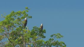 Elegant eagles sit on green tree top and look around