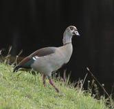 Elegant Egyptian Goose Stock Photos