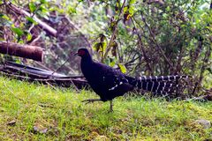 Elegant Emperor Pheasant. Mikado Pheasant is a species unique to Taiwan. It was originally listed as a threatened bird in the world. It is gradually gaining royalty free stock photography