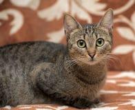 Elegant eyed tabby cat Royalty Free Stock Image