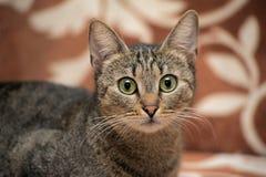 Elegant eyed tabby cat Stock Photo