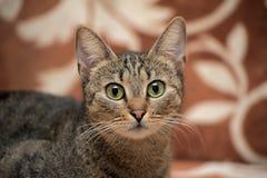 Elegant eyed tabby cat Royalty Free Stock Images