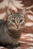 Elegant eyed tabby cat Stock Photos