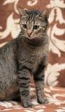 Elegant eyed tabby cat Royalty Free Stock Photography
