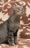Elegant eyed tabby cat Stock Image
