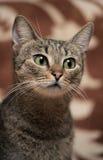 Elegant eyed tabby cat Stock Images