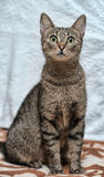 Elegant eyed tabby cat Royalty Free Stock Photos