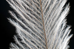 Elegant Feather on black Extreme Close up Detail. Royalty Free Stock Photography