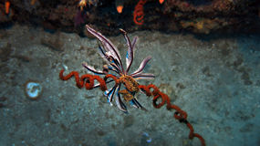 Elegant Feather Star. Photographed in Ponta Do Ouro Mozambique Stock Images