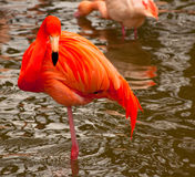 Elegant Flamingo. An elegant flamingo in deepest pink Stock Photo