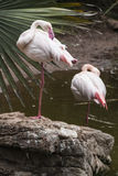 Elegant Flamingo Stock Photos