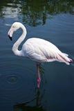 Elegant flamingo Arkivbild