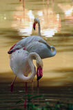 Elegant flamingo Royaltyfria Bilder