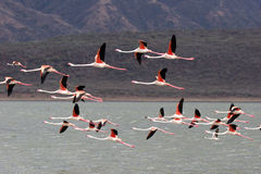Elegant Flamingos Stock Images