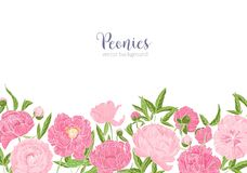 Elegant floral background or backdrop decorated with border made of gorgeous peony flowers at bottom edge on white. Background. Tender flowering garden plants royalty free illustration