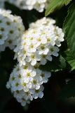 Reeves Spirea. An elegant flower with white florets gathered `Reeves Spirea stock image