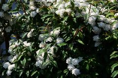 Reeves Spirea. An elegant flower with white florets gathered `Reeves Spirea royalty free stock photography