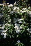 Reeves Spirea. An elegant flower with white florets gathered `Reeves Spirea Royalty Free Stock Image