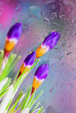 Elegant flowers of Crocus behind the wet window with realistic rain drops. Abstract background, modern halftones Stock Photo