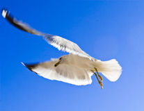 Elegant Flying Seagull Stock Images