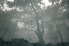 Elegant forest with fog Royalty Free Stock Image