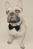 Elegant french bulldog Royalty Free Stock Photo