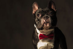 Elegant french bulldog puppy  wearing red bow tie posing Royalty Free Stock Photo