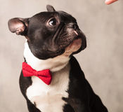 Elegant french bulldog wearing a red bowtie while posing Stock Photos
