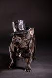 Elegant french bulldog Stock Images