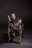 Elegant french bulldog Royalty Free Stock Photos