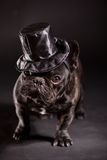Elegant french bulldog Royalty Free Stock Images