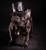 Elegant french bulldog. French bulldog wearing stovepipe in studio Royalty Free Stock Image