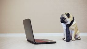 Elegant funny pug dog looks at the screen of a laptop computer, dressed in a tie watching a movie, side view