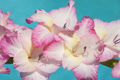 Elegant Gladiolas. Close up of pink and white gladiolas with blue background Stock Images