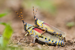Elegant grasshoppers Royalty Free Stock Photo