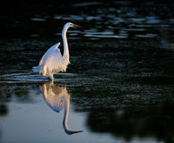 Elegant Great white egret at dawn with reflection. And glow of light through feathers Royalty Free Stock Photo