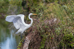 Elegant great white egret with wings spread Stock Photo