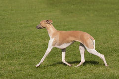 Elegant greyhound pacing Stock Image