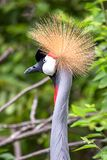 The elegant head of a grey crowned crane royalty free stock photos