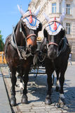 Elegant horses harnessed in stroller. Walking with elegant carriage horses in central Prague Stock Photo