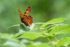 Elegant injured orange butterfly Polygonia c-album resting on a leaf Stock Photo
