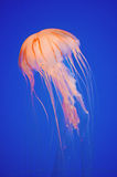 Elegant Jellyfish in cerulean blue with copy space Royalty Free Stock Photos