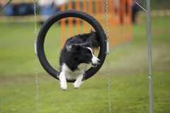 Elegant jump. Of cute purebred Border Collie. He is jumping through agility hoop. He is looking aside to his handler royalty free stock image